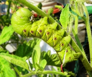 Caterpillar is eating my tomato plants
