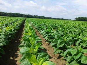 Yellowed tobacco following an insecticide application for tobacco budworm. Hertford County, NC. Photo via Matthew Vanv