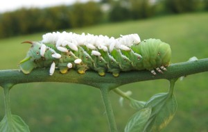 This hornworm is covered in parasitic wasp cocoons.