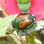 224_Japanese_Beetle4