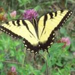 224_Swallowtail_Butterfly
