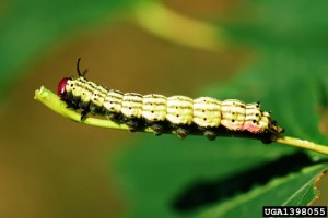 Greenstriped Mapleworm1398055Bugwood