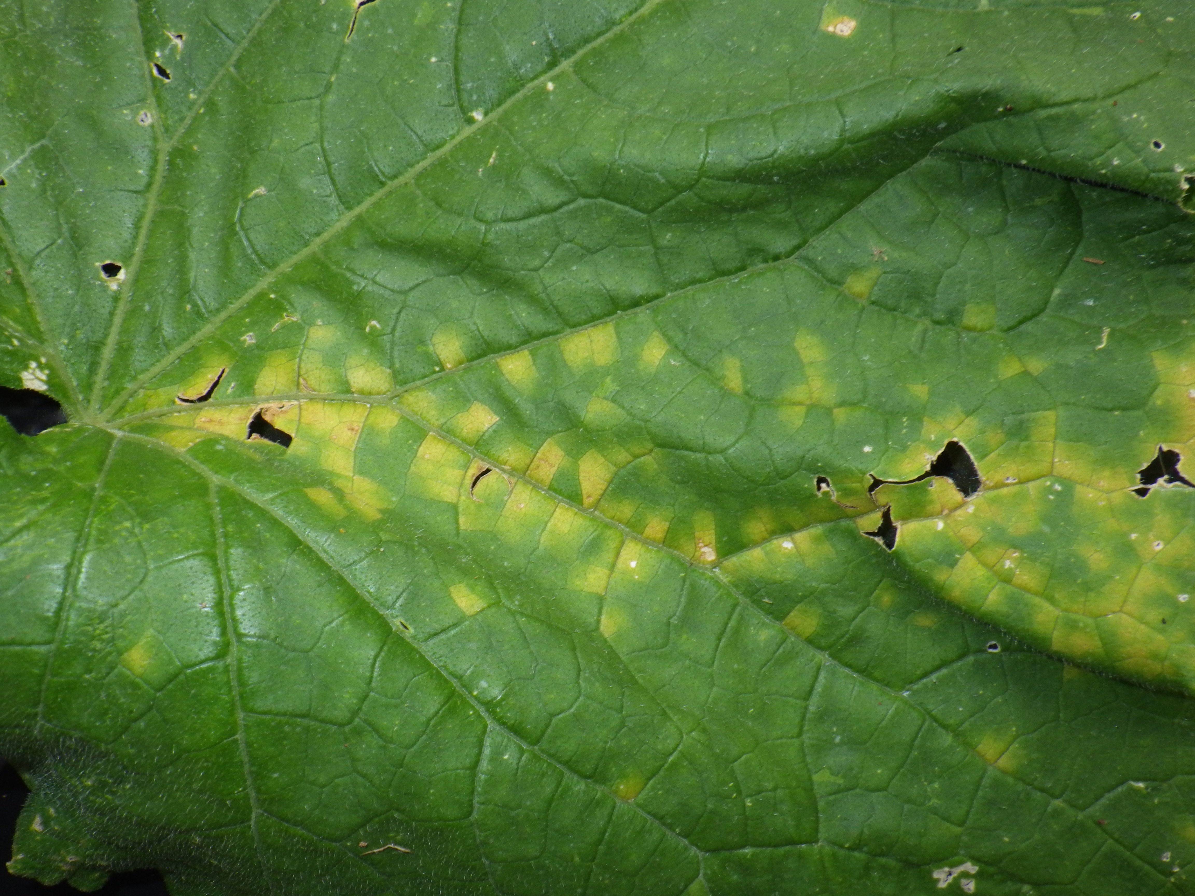Close up of initial cucurbit downy mildew lesions on cucumber leaf, note angular shape of yellow lesions (Photo, Travis Birdsell, NCSU Extension Agent)
