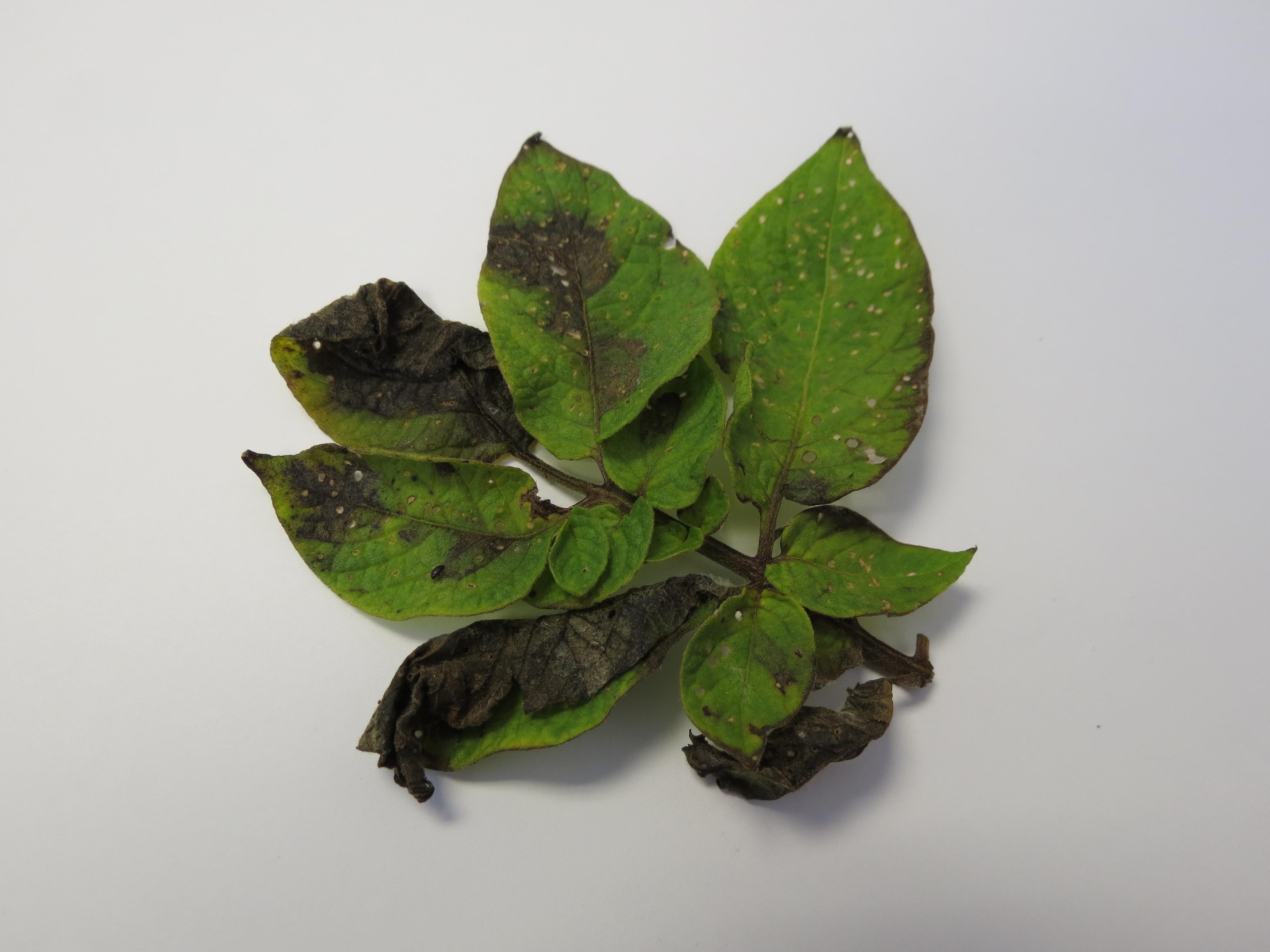 Late blight on potato leaf (Photo Lina Quesada, NCSU vegetable pathology)