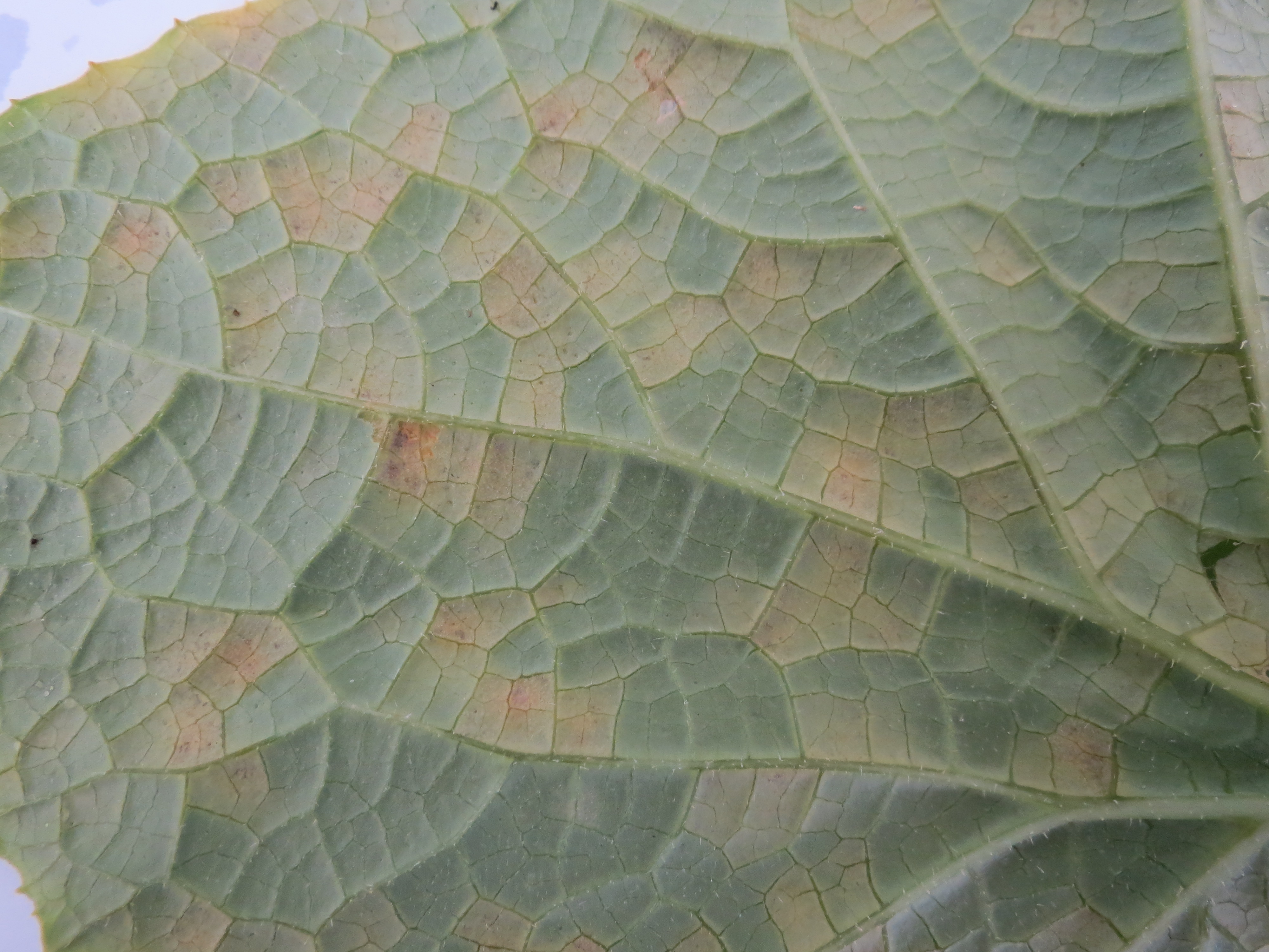 Close-up of cucurbit downy mildew symptoms on backside of cucumber leaf. Note dark sporulation on some lesions (Photo Dr. Lina Quesada, NCSU Vegetable Pathology Lab)