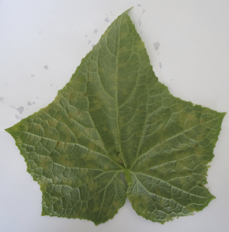 Cucurbit downy mildew symptoms on backside of cucumber leaf (Photo Dr. Lina Quesada, NCSU Vegetable Pathology Lab)