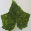 Cucurbit downy mildew symptoms in cucumber leaf (Photo Dr. Lina Quesada, NCSU Vegetable Pathology Lab)