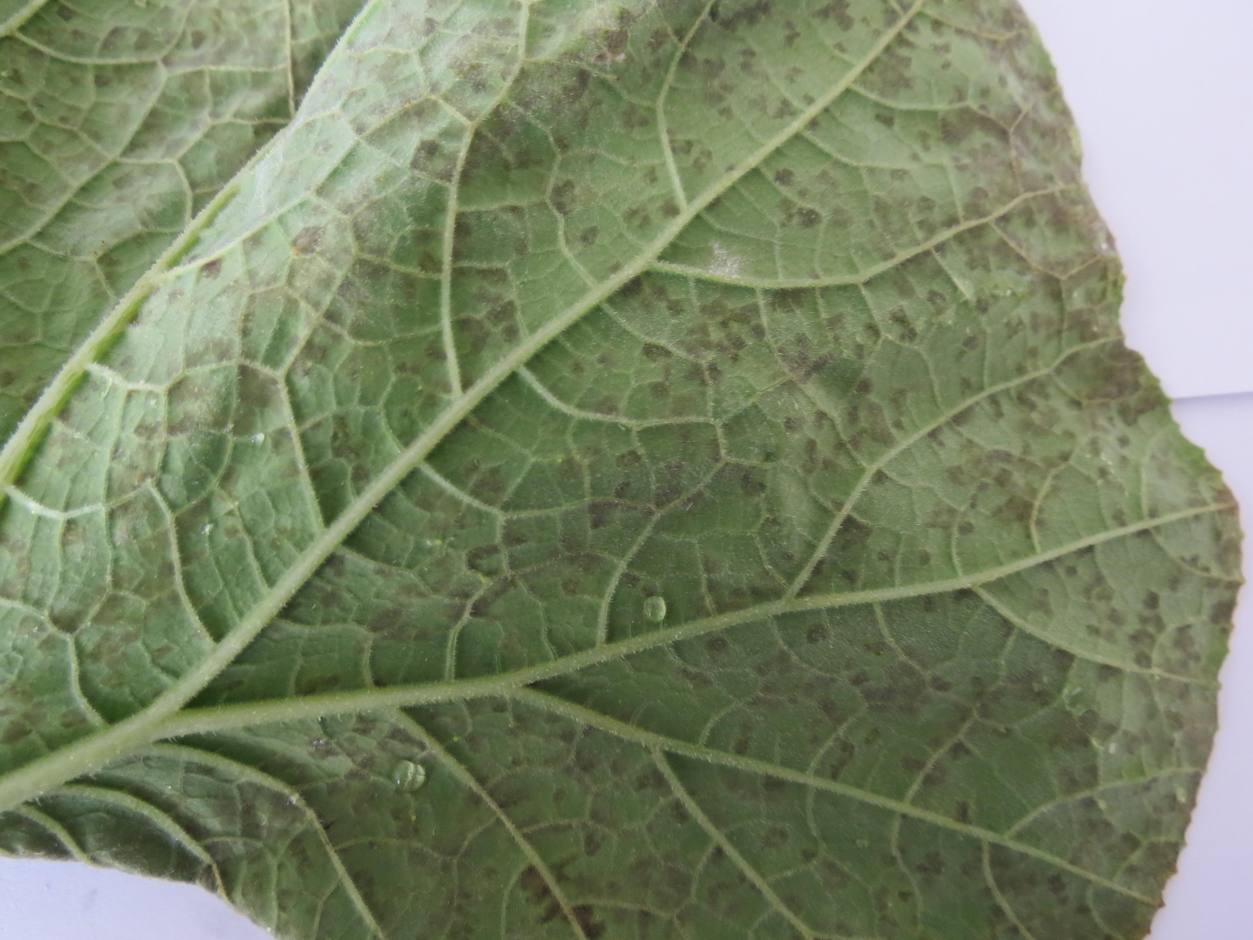Close-up of cucurbit downy mildew symptoms on backside of gourd leaf (Photo Dr. Lina Quesada, NCSU Vegetable Pathology Lab)