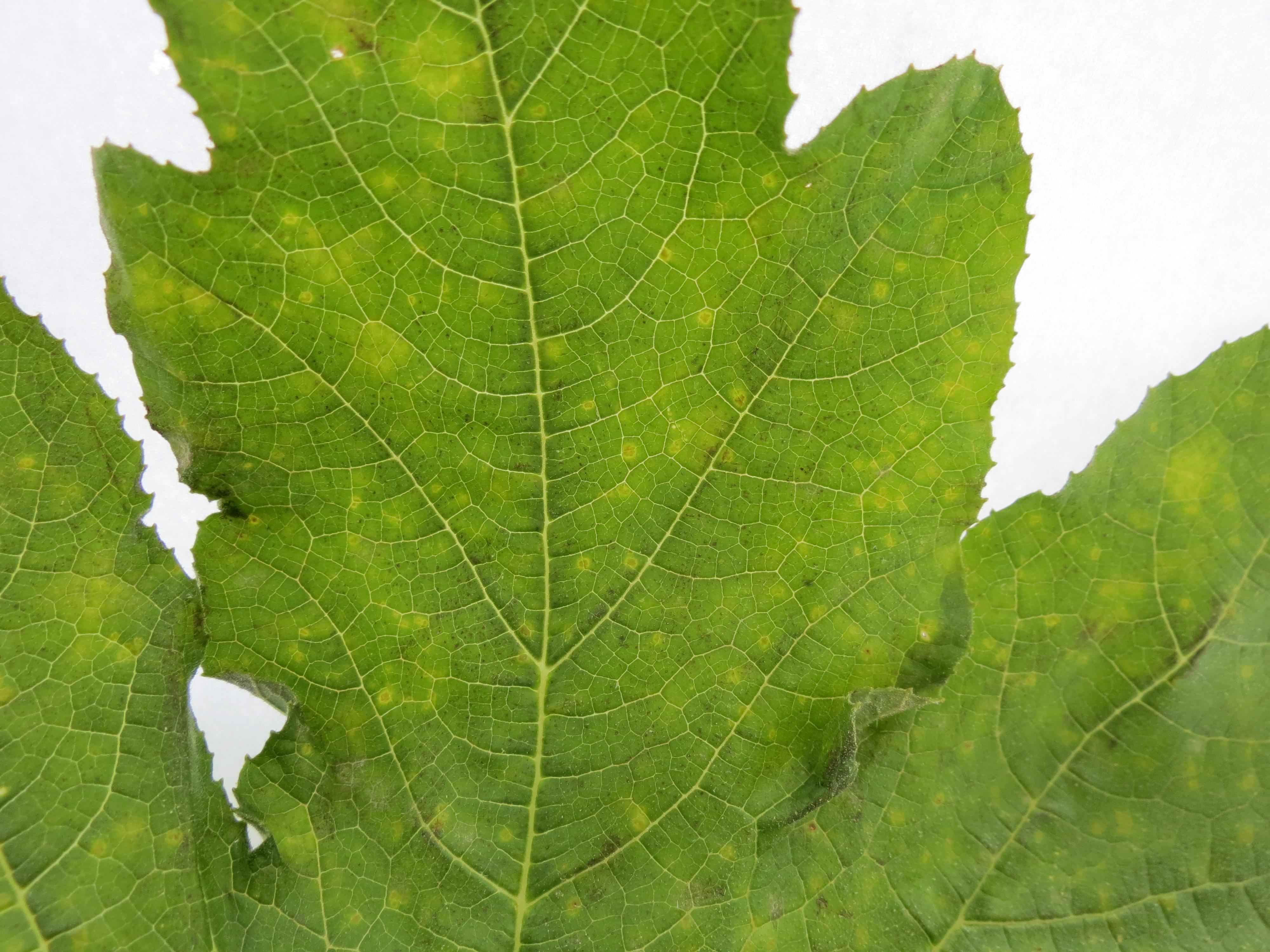 Close-up of cucurbit downy mildew symptoms on squash leaf (Photo Dr. Lina Quesada, NCSU Vegetable Pathology Lab)