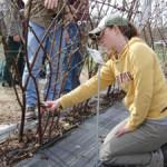 Blackberry pruning