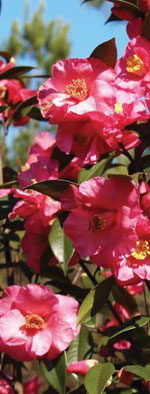x Camillia 'Crimson Candles' CamelliaWeb©