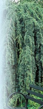 Cedrus atlantica 'Glauca Pendula' Robert E. Lyons ©