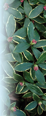 Daphne odora 'Aureomarginata' JC Raulston Arboretum©