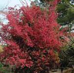 Loropetalum chinense 'Pipa's Red' JC Raulston Arboretum ©