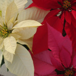 Poinsettia mixed bouquet