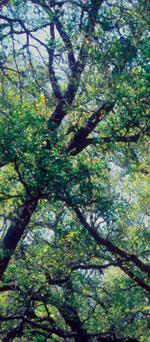 Q. virginiana JC Raulston Arboretum ©