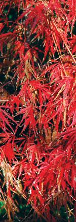 Acer palmatum JC Raulston Arboretum ©