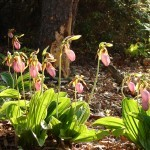 Lady Slipper Flowers at Bullington Gardens