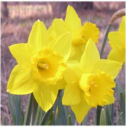 'St. Keverne' is one of the best daffodils for southern landscapes.