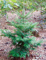 Abies Firma A Heat Tolerant Fir For North Carolina Nc State Extension