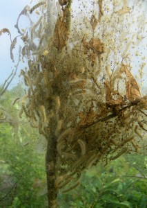 Fall webworms