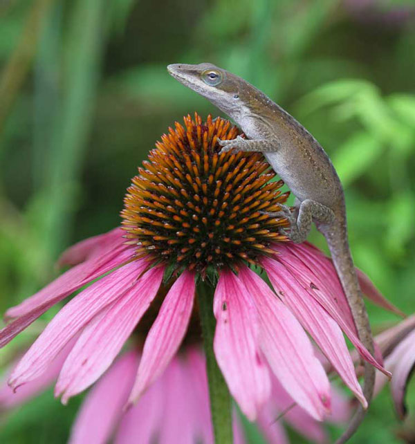 Carolina anole on purple coneflower
