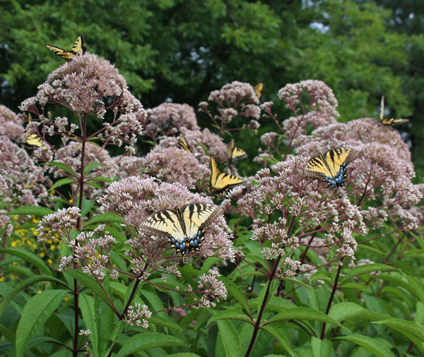 Tiger swallowtails on joe-pye weed (Eupatorium dubium)