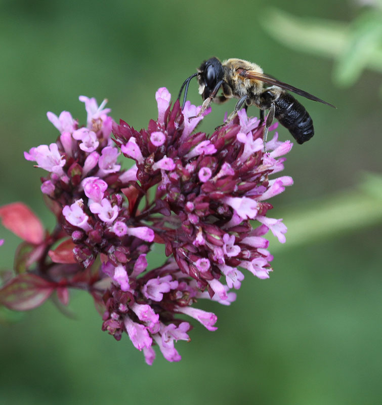 Giant resin bee (Megachile sculpturalis) on ornamental oregano