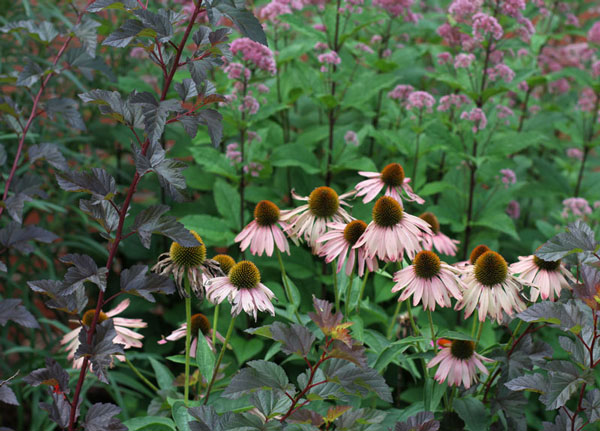 Eastern ninebark shrub with purple coneflowers and joe-pye weed