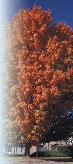 Acer saccharumPhoto by Todd Lasseigne