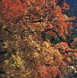 Acer saccharumPhoto by Robert E. Lyons