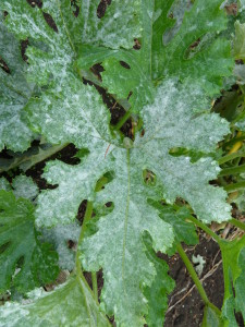 Powdery Mildew - Image by Kathleen Moore
