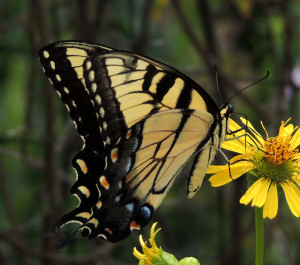 Tiger Swallowtail image by John Gerwin