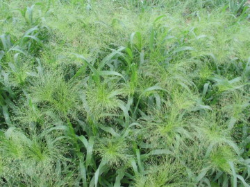 20 seeds Frosted Explosion Wonderful decorative grass Easy to grow Annual