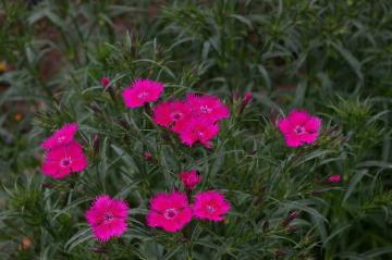 Dianthus 'Bouquet Rose'