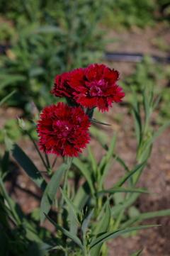 Dianthus 'Fandango Crimson'
