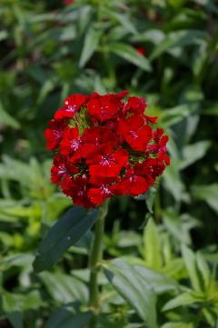 Dianthus 'Sweet Scarlet'