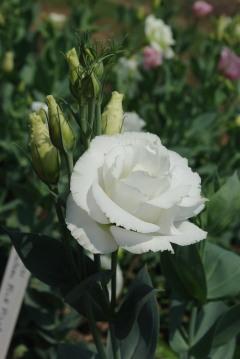 Eustoma 'Arena White'