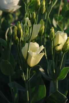 Eustoma 'Cadence Yellow'