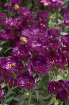 Eustoma 'Wonderous Purple'