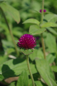 gomphrena_audray_purple_red