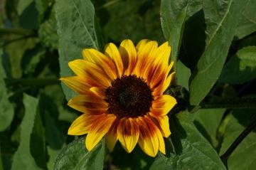 Helianthus 'Sun4U Bicolor'