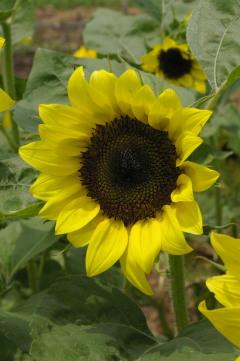 Helianthus 'Sun4U Lemon Yellow'