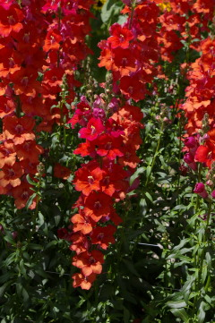 Antirrhinum 'Chantilly Deep Orange'