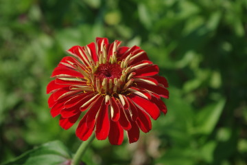 Zinnia_red_beauty