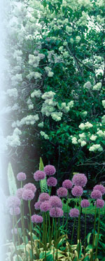 Syringa vulgaris J.C. Raulston ©