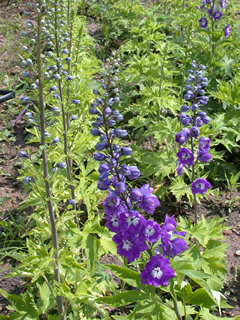 Delphinium 'Guardian Blue'