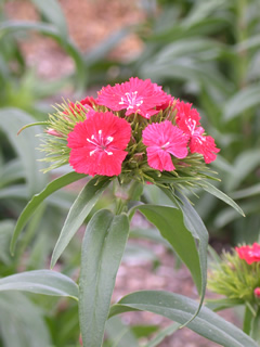Dianthus 'Sweet Coral'