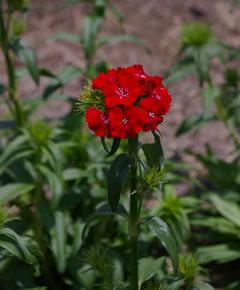 Dianthus 'Sweet Experimental Scarlet'