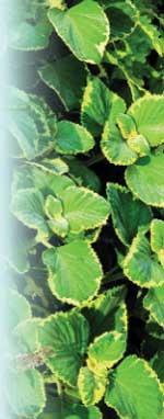 Plectranthus forsteriGreen on Green Robert E. Lyons ©